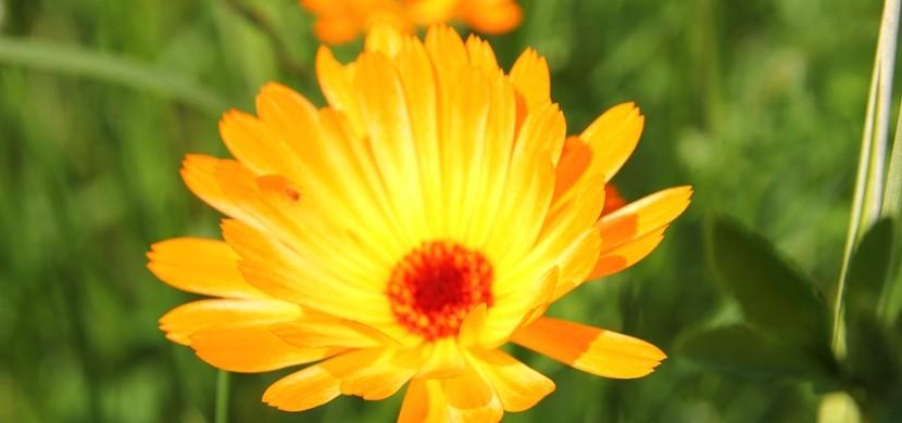Blühende Weinbergsbegrünung im Juni